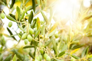 Olive Oil and its Rise in Popularity with the Indian Customer