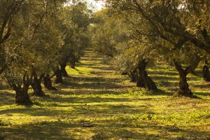 Production of Olive Oil gives back to the Environment